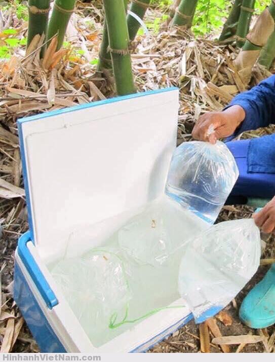 meo lay nuoc ngot tu cay tre - dat ngap man thieu nuoc uong (6), Bà con nào ở vùng nhiễm mặn mà thiếu nước cấp bách thì dùng cách này nè.