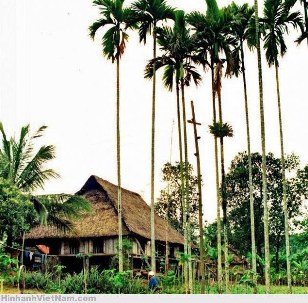 Cây cau được trồng ở rất nhiều vùng trên cả nước.