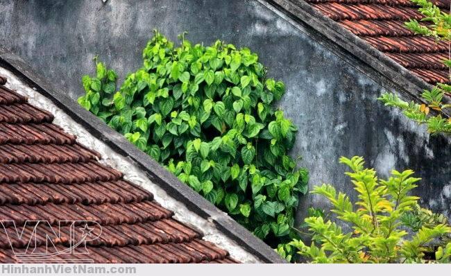 Một khóm cây trầu không mọc trên sườn nhà